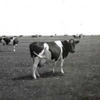 Früher gab es Kühe auf Baltrum